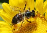 Controversial Pesticide Linked to Bee Collapse